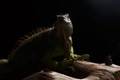 Zielona iguana na gałąź Fotografia Royalty Free