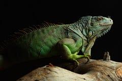 Zielona iguana na gałąź Obraz Royalty Free