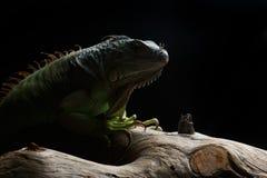 Zielona iguana na gałąź Obrazy Royalty Free