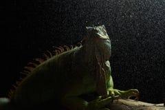 Zielona iguana na gałąź Zdjęcia Royalty Free