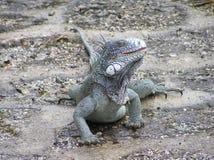 Zielona iguana na mokrej ziemi fotografia stock