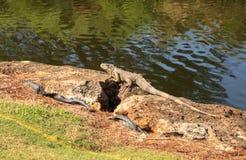 Zielona iguana, naukowo nazwana Iguany iguana Obrazy Stock