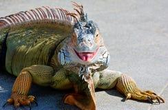 Zielona iguana, Południowy Floryda Zdjęcia Royalty Free