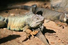 Zielona iguana, Pospolita iguana/ Obrazy Stock