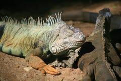 Zielona iguana, Pospolita iguana/ Obraz Stock