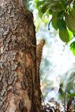 Zielona iguana przy Sigiriya Sri Lanka fotografia royalty free