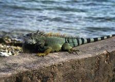 Zielona iguana, Puerto Rico Obrazy Stock