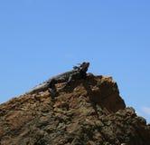 Zielona iguana St Thomas Obraz Stock