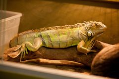 Zielona iguana, tak?e zna? jako Ameryka?ska iguana, jest wielka, nadrzewny, jaszczurka Znajduj?cy w niewoli jako zwierz? domowe o zdjęcia royalty free