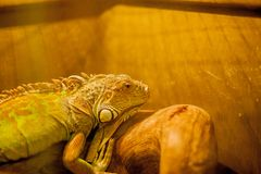 Zielona iguana, tak?e zna? jako Ameryka?ska iguana, jest wielka, nadrzewny, jaszczurka Znajduj?cy w niewoli jako zwierz? domowe o zdjęcia stock