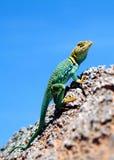Zielona iguana w dinosaura parku Obraz Royalty Free