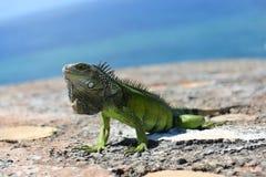 Zielona iguana w karaibskim obrazy stock