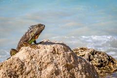 Zielona iguana w Key West, Floryda zdjęcie royalty free