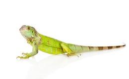 Zielona iguana w profilu pojedynczy białe tło Zdjęcia Stock