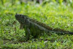 Zielona iguana w trawie Podczas dnia zdjęcia stock