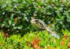 Zielona iguana wyłania się od krzaków Zdjęcia Royalty Free