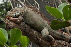 Zielona iguana & x28; Iguany iguana& x29; Obraz Stock
