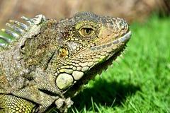 Zielona IguanaIguana iguana Obrazy Stock