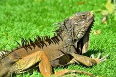 Zielona IguanaIguana iguana Zdjęcia Royalty Free