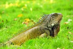 Zielona IguanaIguana iguana Obraz Royalty Free
