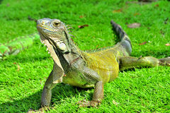 Zielona IguanaIguana iguana Fotografia Stock