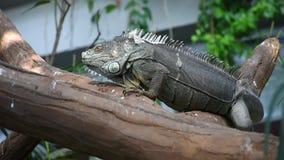 Zielona iguany iguany iguana chodzi wzdłuż gałąź w tropikalnym lesie deszczowym zdjęcie wideo