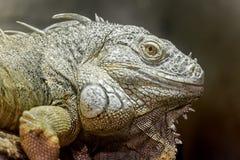 Zielona iguany ` s głowa obrazy stock