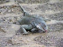 Zielona iguany woda pitna od pudafter raindle fotografia stock