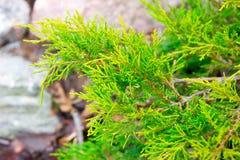 Zielona jałowiec gałąź w wiośnie Zdjęcia Royalty Free