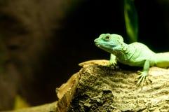 zielona jaszczurka obraz royalty free