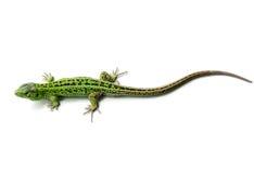 zielona jaszczurka Fotografia Royalty Free