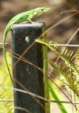 Zielona jaszczurka Fotografia Stock