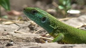 Zielona jaszczurka zbiory wideo