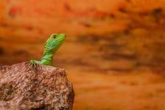 Zielona jaszczurka Obrazy Stock