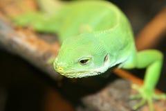 Zielona jaszczurka na gałąź Zdjęcie Royalty Free