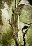 Zielona jaszczurka na kamieniu w górę obrazy stock