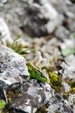 Zielona jaszczurka na skałach Zdjęcia Royalty Free