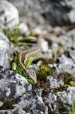 Zielona jaszczurka na skałach Obraz Royalty Free
