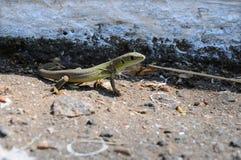 Zielona jaszczurka na ziemi Fotografia Royalty Free