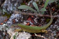 Zielona jaszczurka, republika czech Zdjęcia Royalty Free
