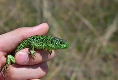Zielona jaszczurka w rękach zdjęcie royalty free