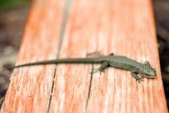 Zielona jaszczurka wygrzewa się na deskach fotografia stock