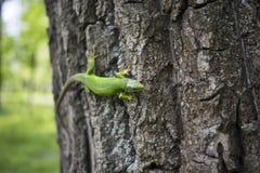 Zielona jaszczurka - Zielona jaszczurka z długiego ogonu pozycją na kawałku drewno Obrazy Stock