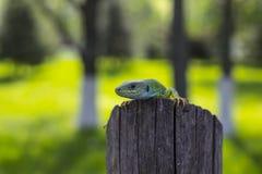 Zielona jaszczurka - Zielona jaszczurka z długiego ogonu pozycją na kawałku drewno Zdjęcia Stock