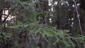 Zielona jedlina rozgałęzia się w drewnach zbiory