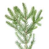 Zielona jodły gałąź dla dekoraci Zdjęcie Stock