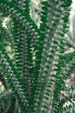 Zielona kaktusowa roślina Zdjęcia Stock