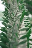 Zielona kaktusowa roślina Obrazy Stock