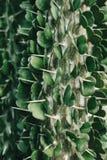 Zielona kaktusowa roślina Zdjęcie Royalty Free