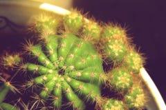 Zielona kaktusowa roślina z ostrymi cierniami w garnku Obraz Stock